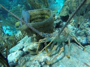 Lobster at Admirals Choice Cay